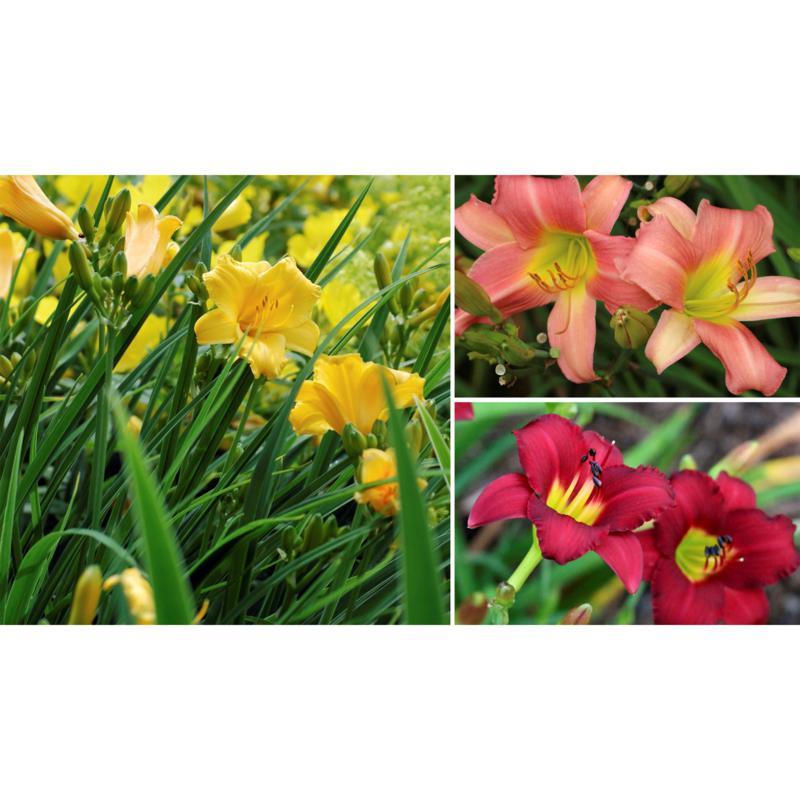 Leaf & Petal Designs 6-piece Color Burst Daylilies