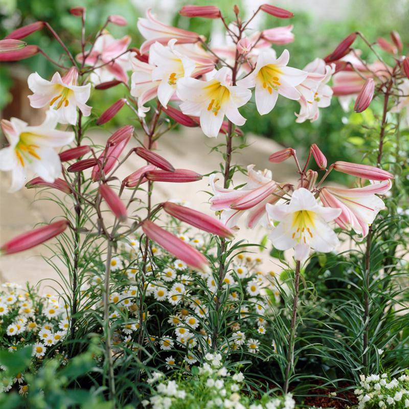 Lilies Regale Set of 5 Bulbs