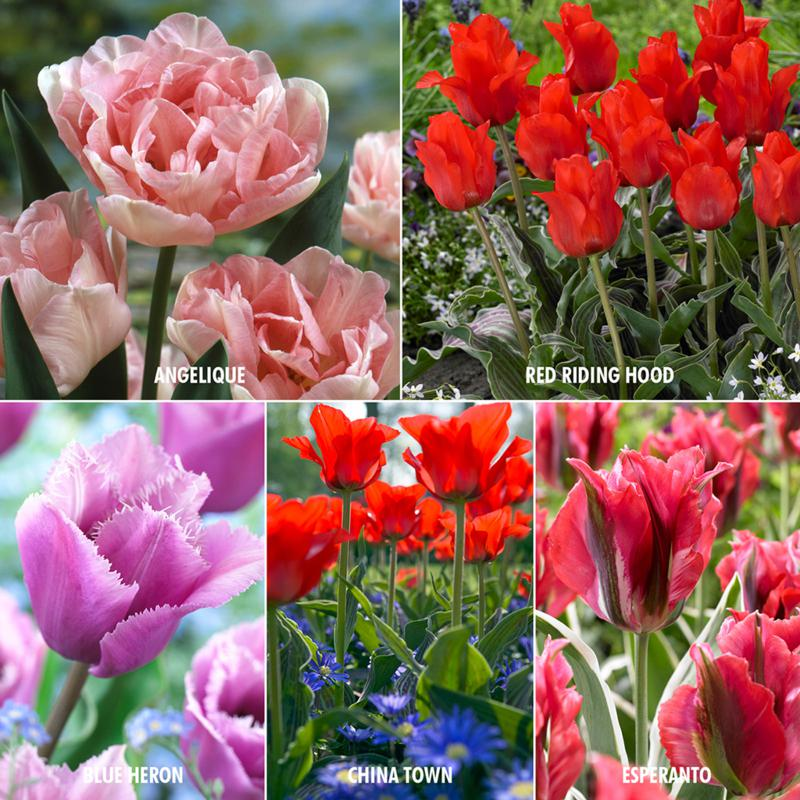 VanZyverden Royal Horticultural Society Merit Award 25-bulb Tulip Set